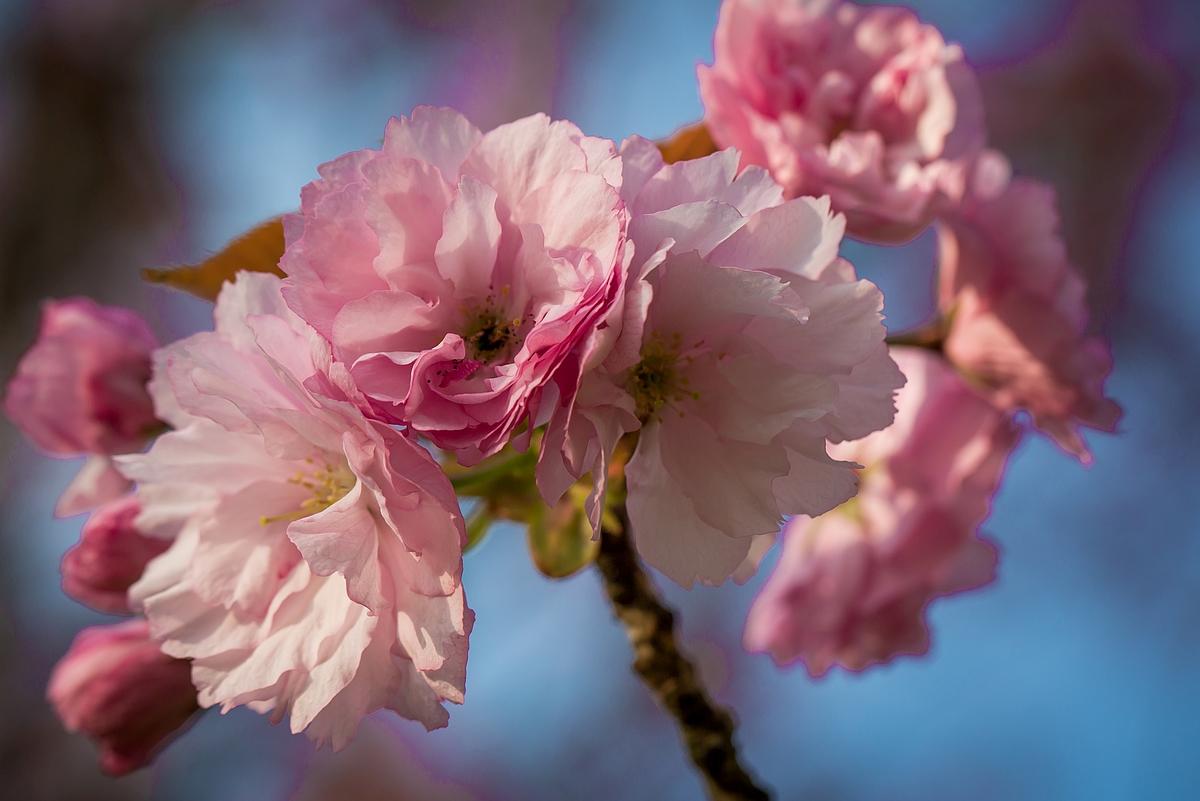 Teltow: Japanisches Kirschblütenfest Hanami wegen Corona