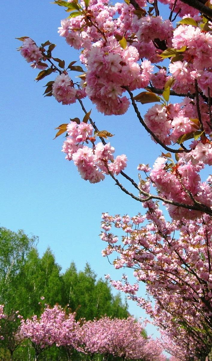 Teltow: 17. Japanisches Kirschblütenfest Hanami